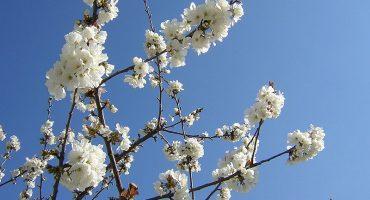 Península Misteriosa: Jerte, al abrigo del cerezo en flor