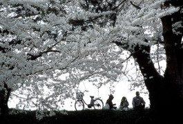 Cerezos en flor en Japón, descubrelos por solo 564 €