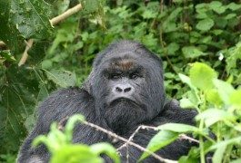 Ruanda: gorilas en el Parque Nacional de los Volcanes