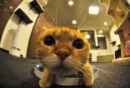 Japón, ¿un lindo gatito en la cafetería?