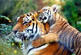 India: restricciones al turismo para proteger a sus tigres