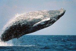 Hawai: donde el surf se encuentra con las ballenas…