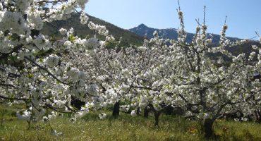 Primavera 2014: los cerezos en flor, en el Valle del Jerte