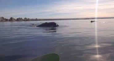 VÍDEO – En kayak, ¡atención con las ballenas!