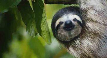 VÍDEO – Costa Rica y su perezoso cantarín