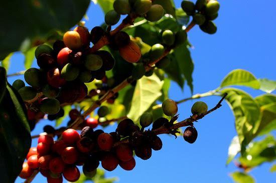 La planta del café de Col