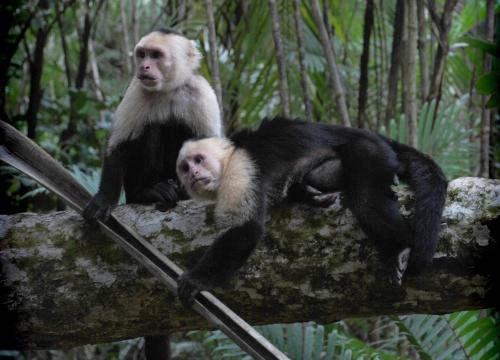 Monos capuchinos en Costa Rica