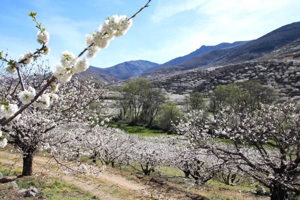 Valle_del_Jerte-cerezo