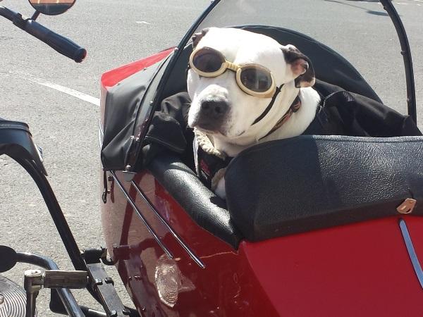 perro-con-gafas-en-sidecar