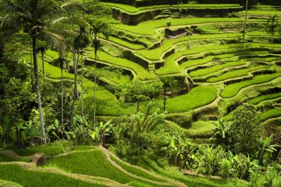 Ubud-campos-arroz-Bali-Indonesia