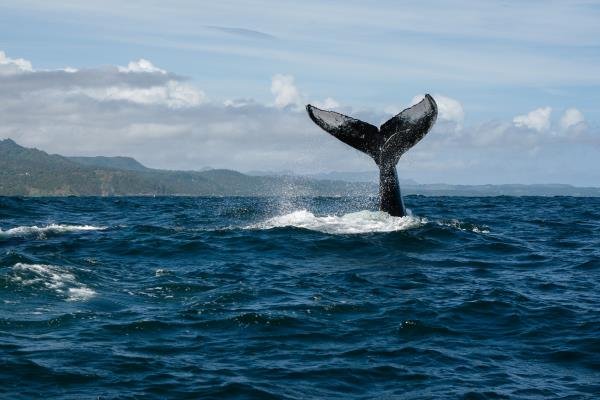 ballena-sabana-republica-dominicana