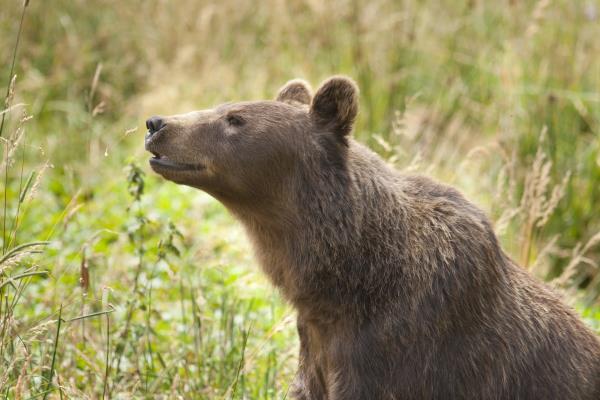 oso-europea