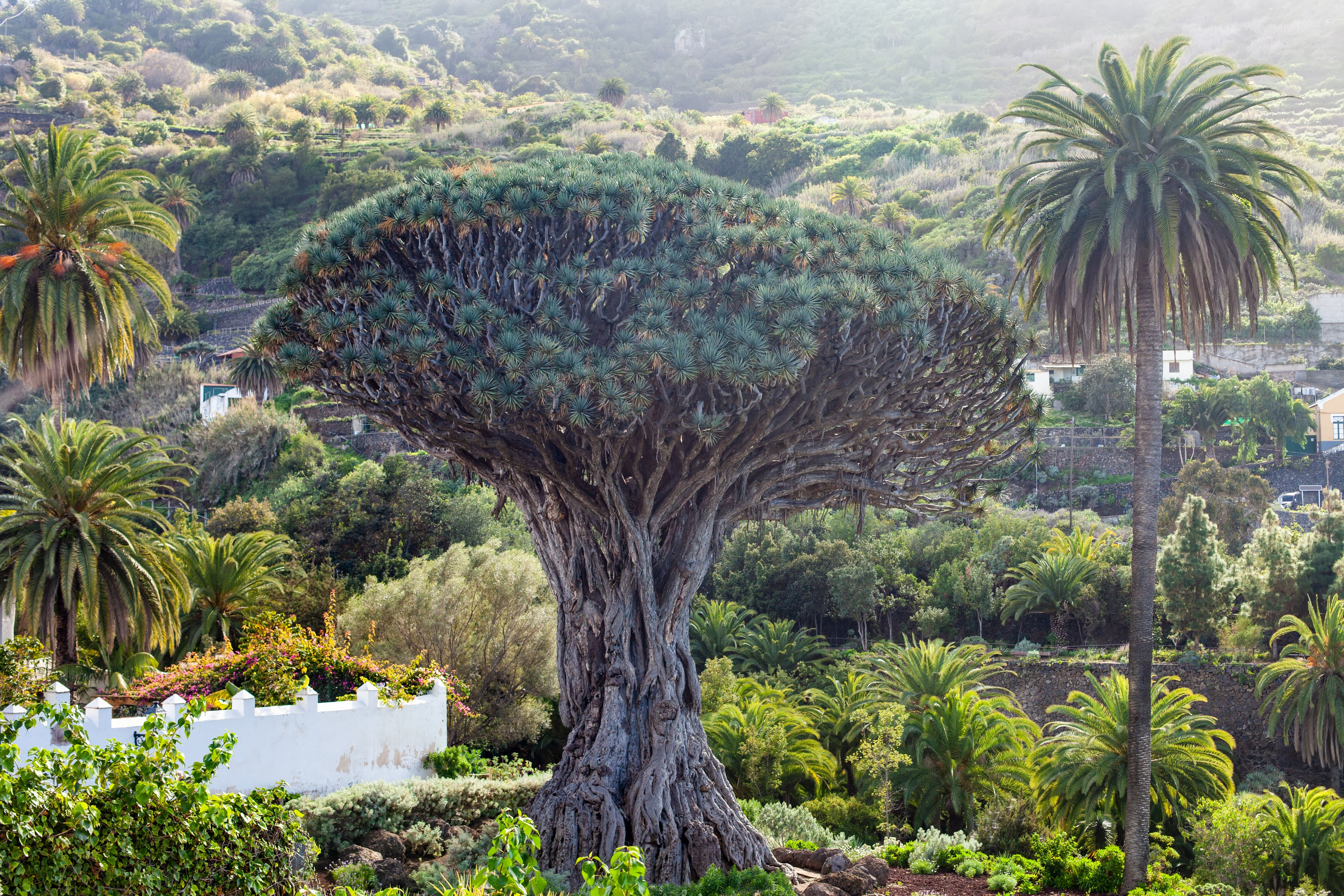 Drago Milenario en Tenerife