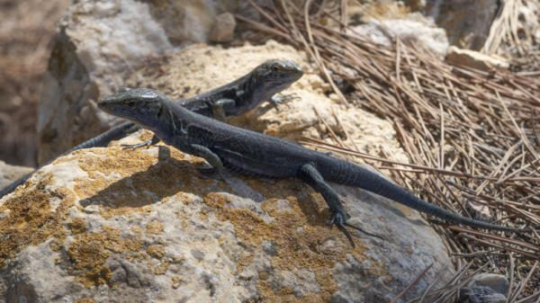 La lagartija negra, especie endémica de la Isla del Aire (Baleares)