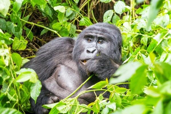 Safari en Bwindi