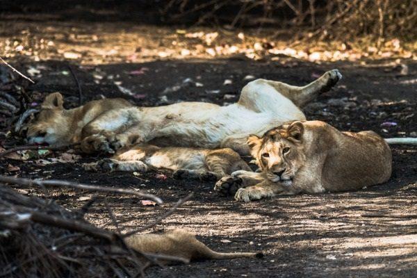 Safari en Sasan Gir
